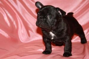 Black Bulldog Puppy