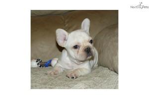 french-bulldog-puppy-picture-993cf6ca-25bf-4362-a142-64995de7710f