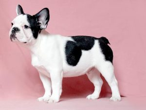 French Bulldog puppies Image 31