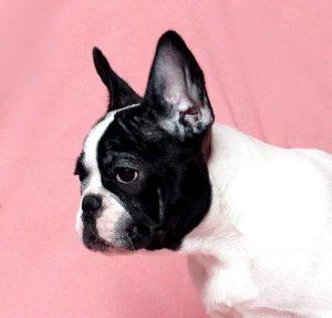 French Bulldog puppies Image 22